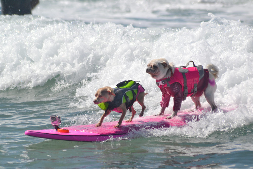 tandem-surfing-dogs-4194370